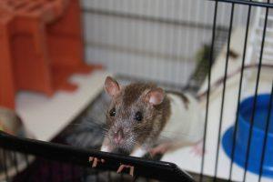 rat-1736405_1280