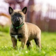 Le Berger Malinois : ce chien est-il fait pour vous ?